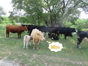 Hello Cows!